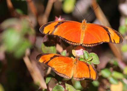 dryas julia butterflies - photo by Antonio Machado
