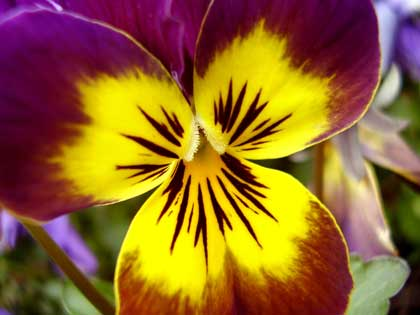 closeup of a purple pansy - photo by Skyro