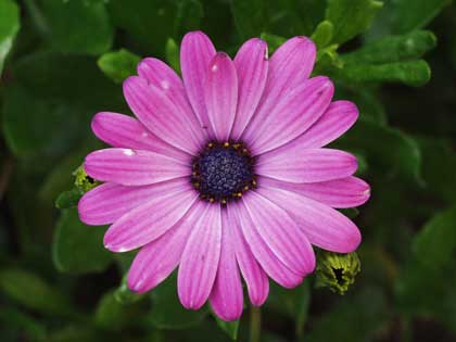 purple daisy - photo by Trijnie