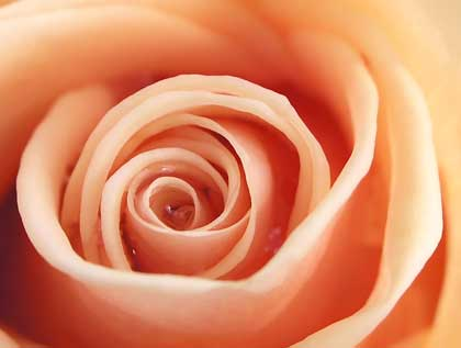 pink rose closeup - photo by Zela