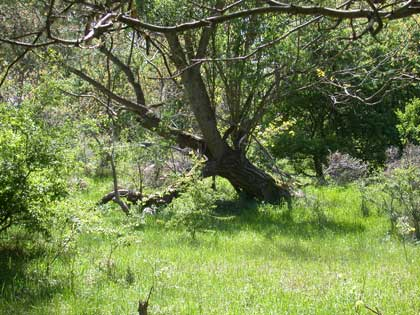 twisted tree in forest meadow - no photographer credited