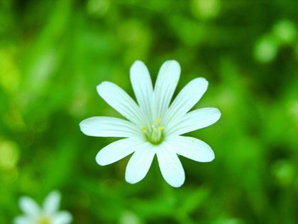 white daisy - photo by Astkam