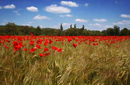 field with red flowers - photo by Strawberryblues