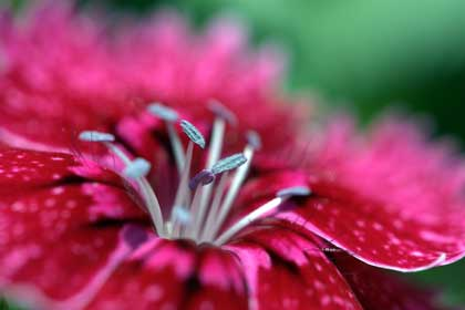 closeup of a red flower - photo by Peasap