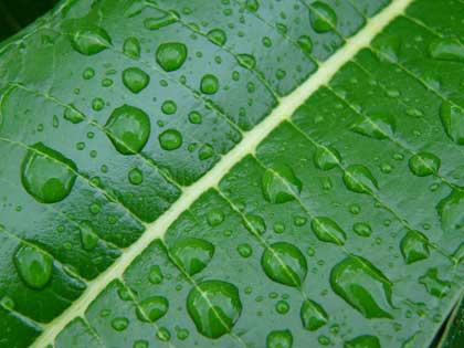 frangipani leaf with raindrops - photo by CraigPJ