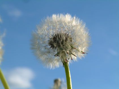 dandelion head - photo by Marcello99