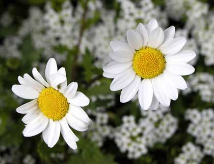 two daisies - photo by Zela