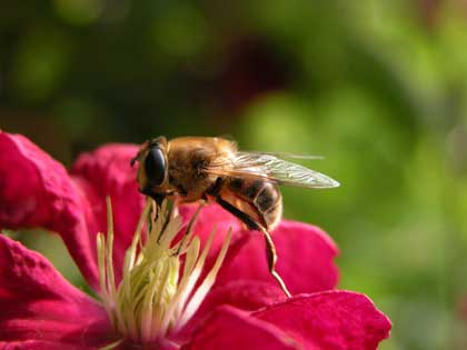 honeybee on a red flower - no photographer credited
