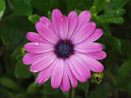 purple daisy - photo by Trijnie