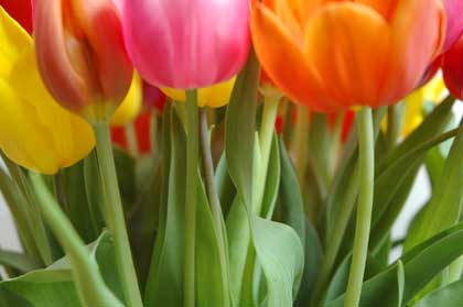 multicolored tulips - photo by Remind