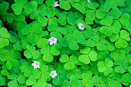 wood sorrel - photo by Stevekrh19