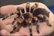 tarantula in hand sm Exposure Therapy: Eliminating Anxiety Disorders Fear, Part 2
